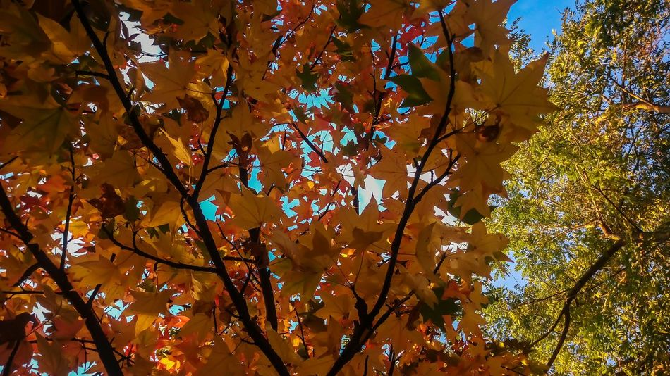 Orange Color Autumn Beauty In Nature Autumn Colors Tree Nature Mygardentoday At Home Sweet Home Garden Photography StonexOneGalileo Athomeinthemountains Athomeinthewood Countrystyle Countryhouse In The Wood Color Explosion Liquidambar Colors