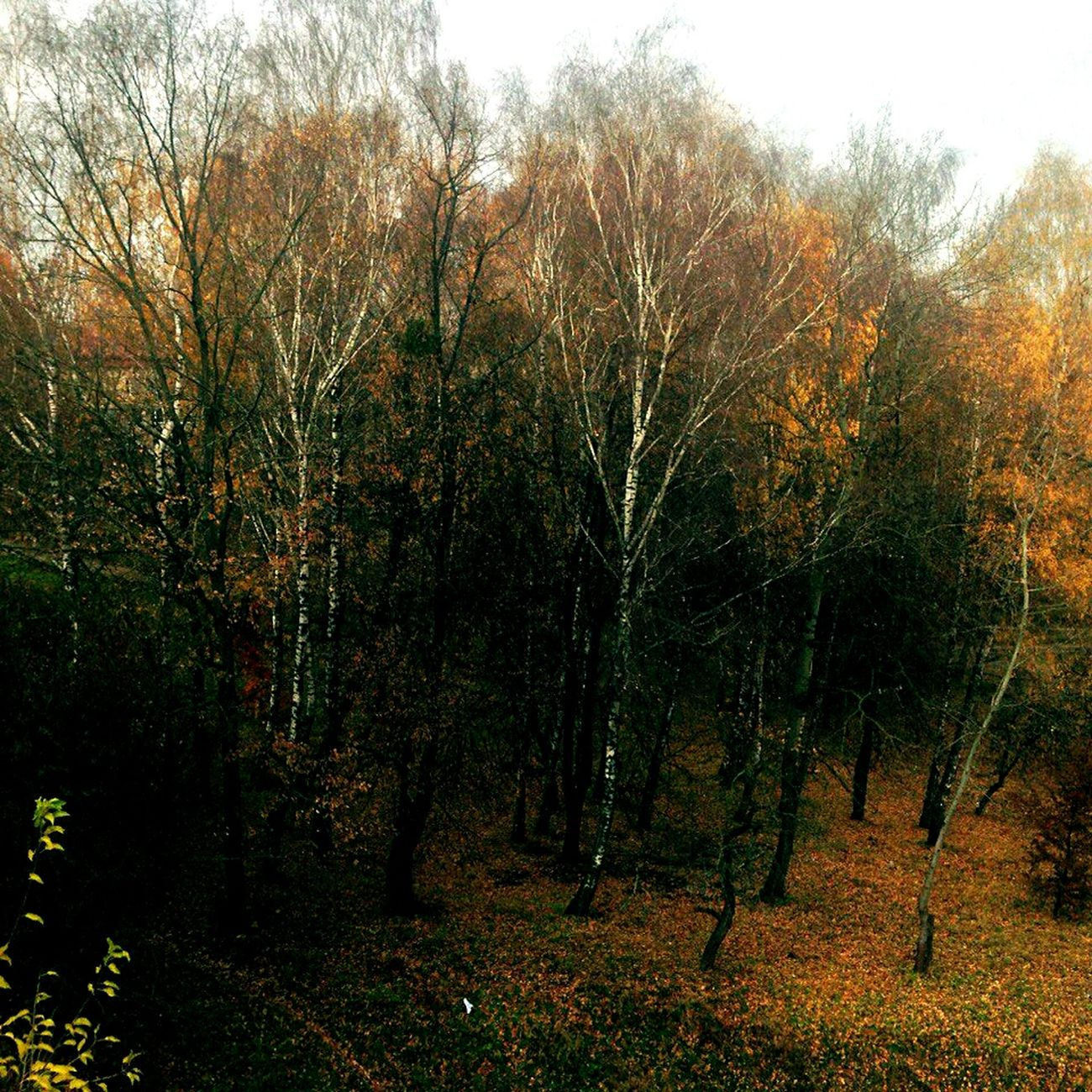 Tree WoodLand Beauty In Nature Nature Outdoors Tree Area Day No People Majestic Lvivgram Lvivforyou Lviv1256 Lvivit Lvivua Old Lviv, Ukraine Vscocam Vscogood Vscogram VSCO Landscape Autumn🍁🍁🍁 Autumn Colors