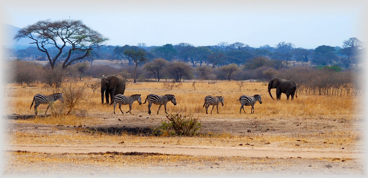 animals in the wild, nature, animal wildlife, landscape, tree, mammal, animal themes, safari animals, outdoors, no people, day, beauty in nature, grass, arid climate, large group of animals, elephant, sky, zebra, african elephant