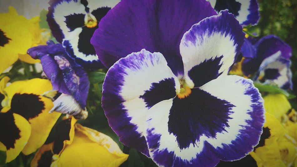 Flower Purple Flower Head Fragility Beauty In Nature Nature Close-up Freshness Plant Growth Outdoors Passion Flower Blossom Flowers No People Day Plant Growth Beauty In Nature Pansy Pansy FlowerPurple Flowers Purple Pansy Pansy-flower Purple