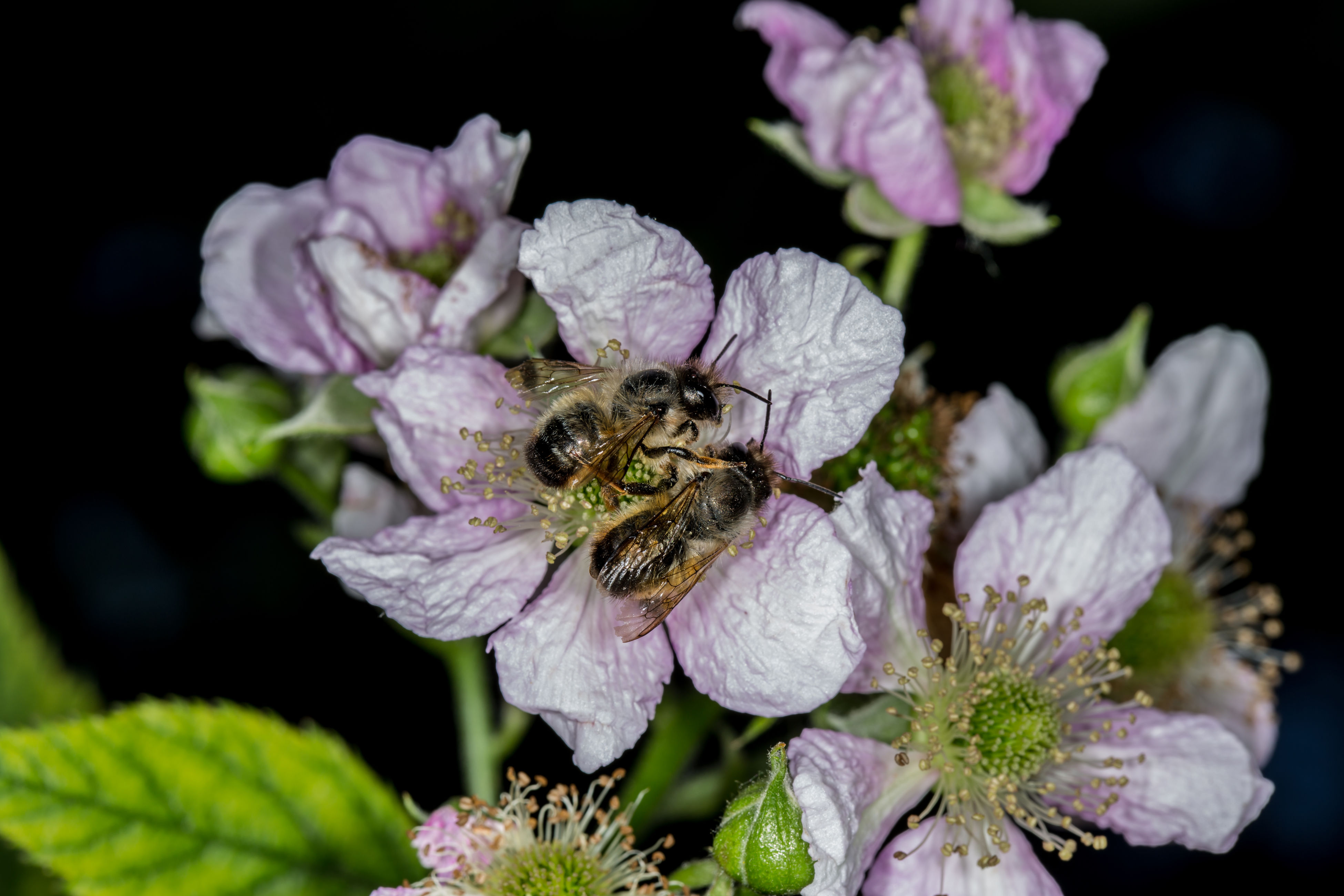 one animal, animal themes, insect, animals in the wild, flower, bee, nature, growth, petal, animal wildlife, honey bee, wildlife, no people, plant, flower head, fragility, pollination, outdoors, day, beauty in nature, close-up, freshness, bumblebee, mammal