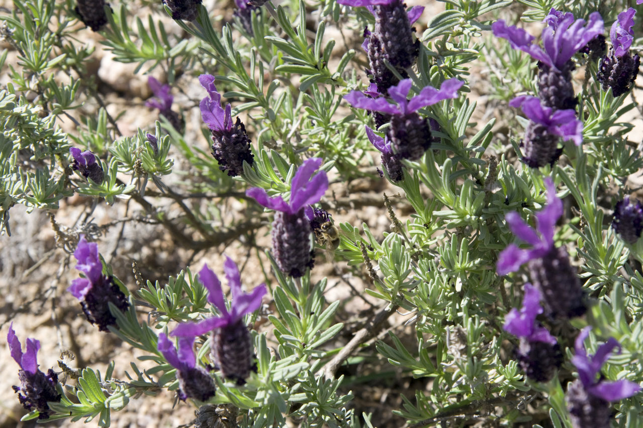 lavender - with a honey bee Beauty In Nature Blooming Blossom Close-up Flora Flower Flower Head Fragility Freshness Full Frame Growth Herb Herbal Lavender Lavenderflower Mediterranean  Nature No People Perfume Plant Provence Purple Scented Smell Wildflower