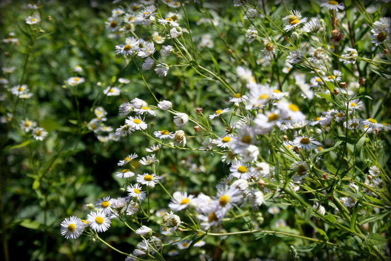 Daisies Daisy Nature Plant Growth Green Color No People Flower Outdoors Beauty In Nature Fragility Day Freshness Close-up Summer Flower Head Flowers Of EyeEm