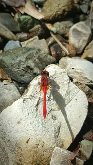 Fist Time Ever Insect Dragonfly So Cool By The Falls Nature Outdoors Red Dragonfly Still