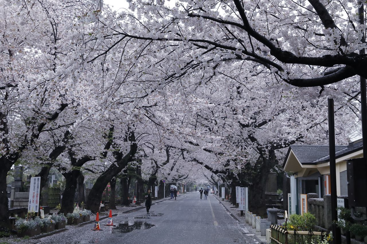 Cherry Blossom Cherry Blossoms Flower Flower Collection Flowerporn Flowers Japan Japan Photography Nature Nature Photography Nature_collection Road Sakura Sakura Blossom Spring Spring Flowers Springtime Street Streetphotography The Way Forward Tokyo Tokyo Street Photography Tree Trees Vanishing Point