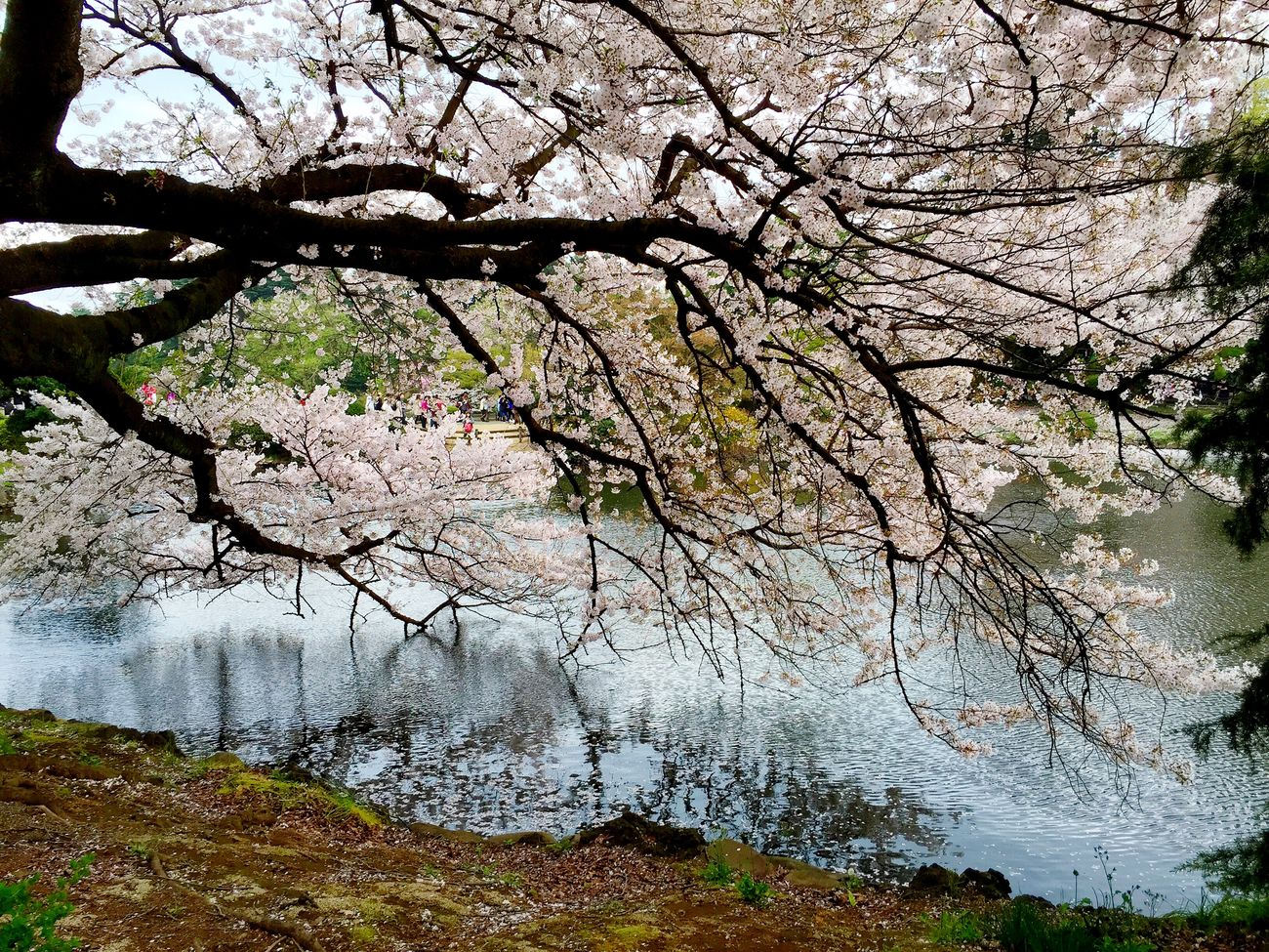 新宿御苑の桜! すごい! Japan Sakura Cherry Blossoms Nature Park Shinjuku Gyoen Shinjuku 新宿 新宿御苑