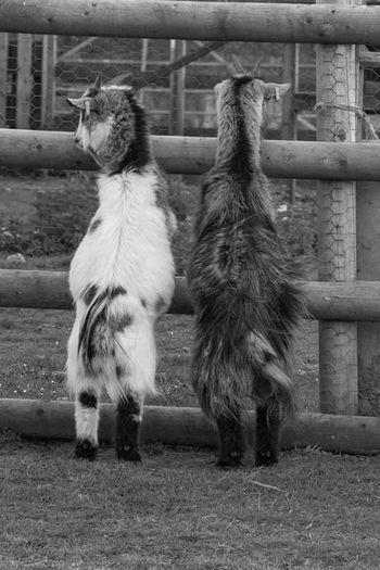 Animal Themes Close-up Goats Animal Wildlife Outdoors Day Nature