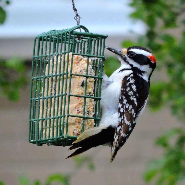 Woody strikes again! (Downy Woodpecker). Nature Woodpecker Bird Bird Photography Outdoors The Great Outdoors - 2017 EyeEm Awards EyeEm Nature Lover EyeEmNewHere