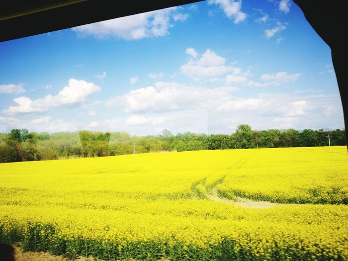 Yellow Repcemező Agriculture Beauty In Nature Freshness