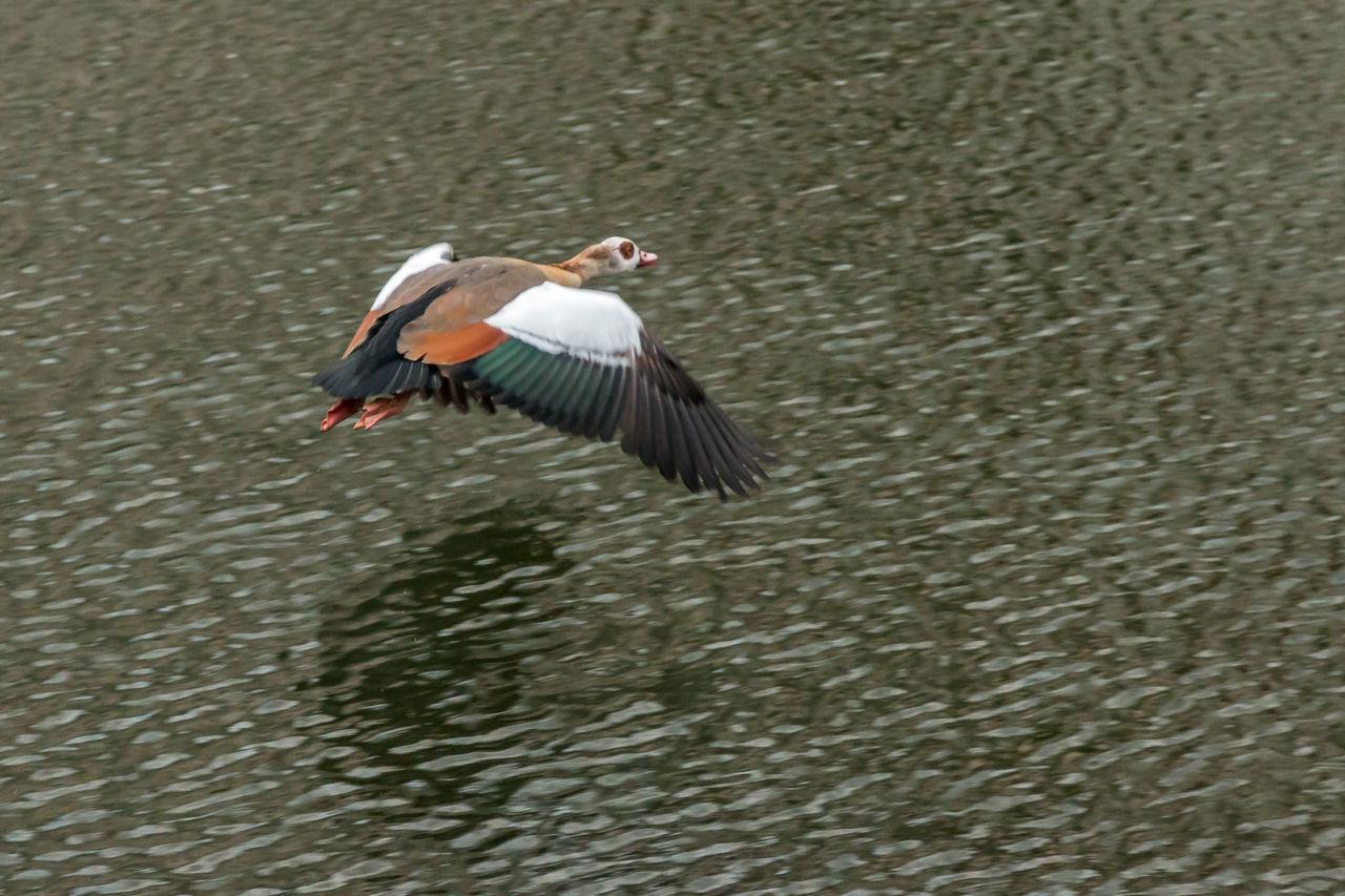 High Angle View Of Egyptian Goose Flying Over Lake