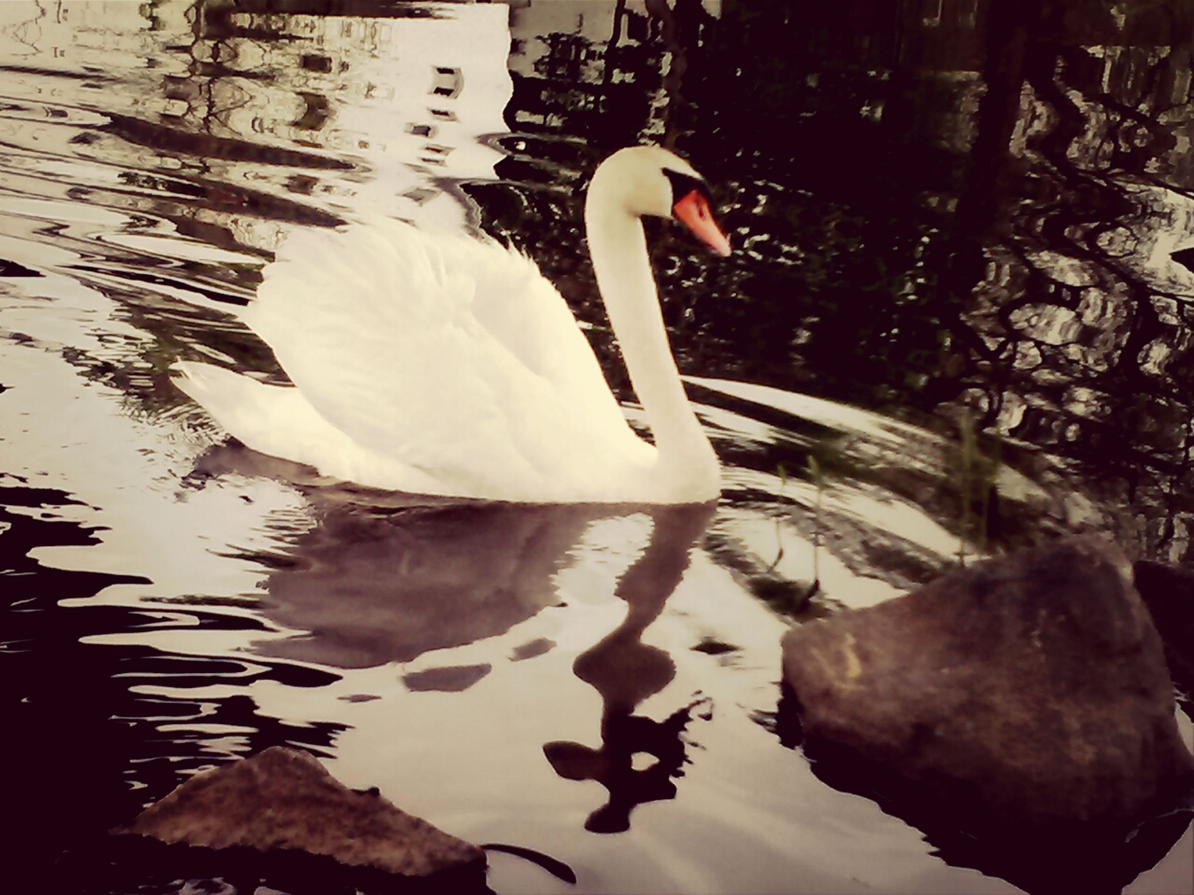 bird, water, lake, animal themes, swan, animals in the wild, wildlife, reflection, white color, one animal, waterfront, floating on water, swimming, nature, water bird, beak, day, outdoors, beauty in nature, no people