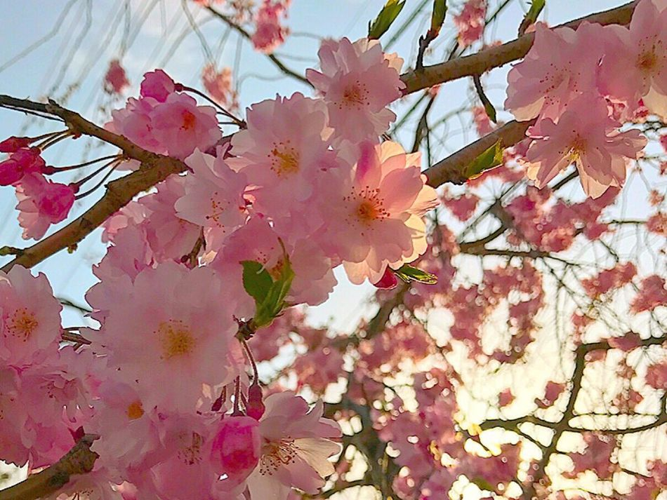 Flower Blossom Cherry Blossom Pink Color Springtime Beauty In Nature Cherry Tree Tree Nature Flowers, Nature And Beauty Flowers Japan Japan Photos Flower Photography EyeEm Nature Lover Beauty In Nature EyeEm Nature Spring Flowers Spring Colours