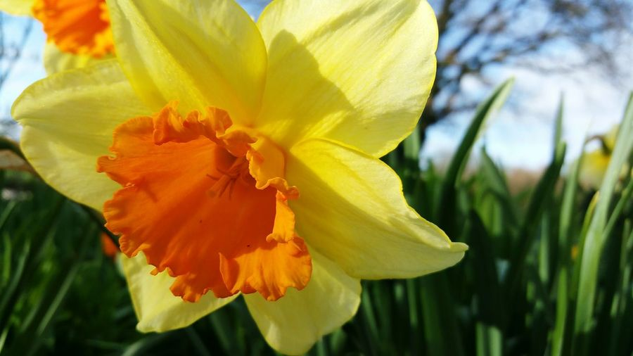 Flower Nature Plant Leaf Flower Head Outdoors Beauty In Nature Petal Springtime Close-up Multi Colored Yellow Sunlight Day Freshness Growth No People Summer Beauty Fragility Fortissimo Narcissus Hybride Daffodils In The Sun Daffodils Flowers Daffodil Bloom