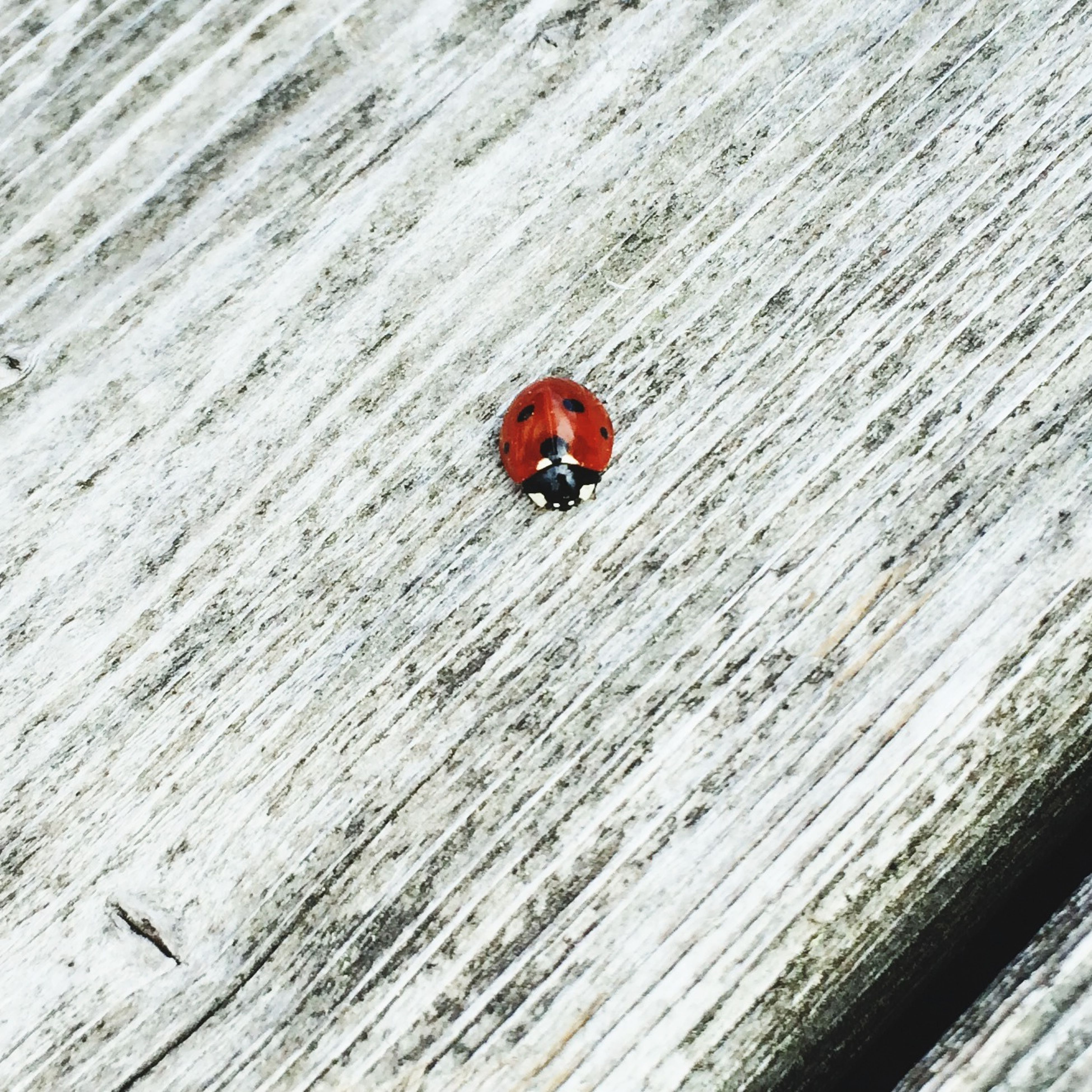 insect, animal themes, one animal, animals in the wild, ladybug, wildlife, red, wood - material, high angle view, close-up, textured, outdoors, no people, day, nature, wooden, selective focus, plank, wall - building feature, full length