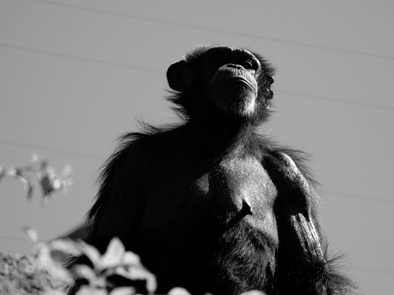 Shimpanzee Monkey Monkey Animal Photography Animal Shimpanzee Loro Parque Tenerife Tenerife Island