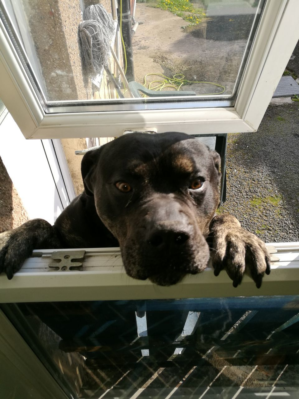 dog, one animal, pets, animal themes, domestic animals, mammal, window, portrait, looking at camera, indoors, day, no people, looking through window, close-up