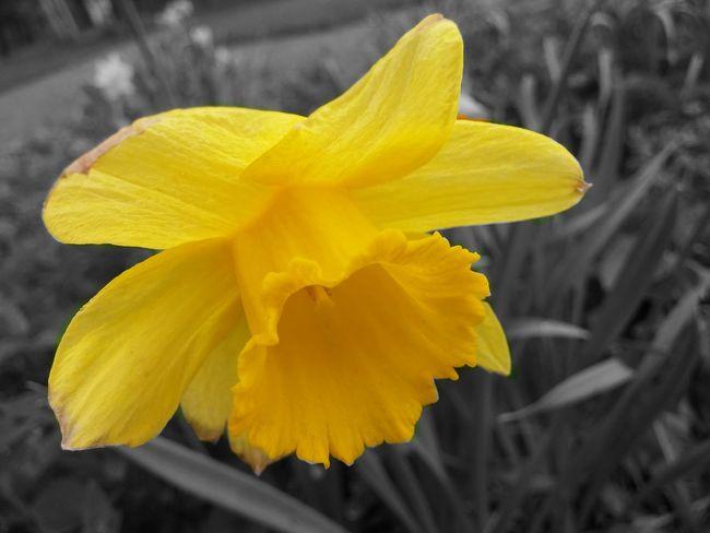 Flowers Spring Spring Has Arrived Springtime Daffodils Nature Flower