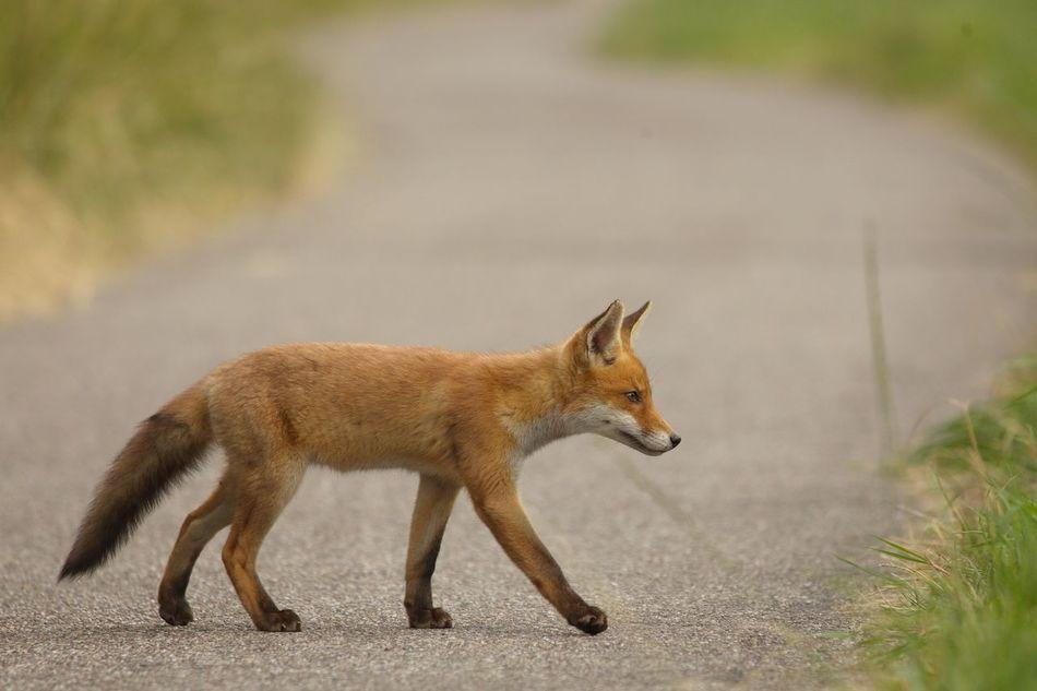Beautiful stock photos of fox, Animal Themes, Animal Wildlife, Animals In The Wild, Brown