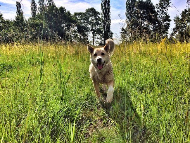 Sophie 😉♥️ Dog Pets Grass One Animal Domestic Animals Border Collie Green Color Field Outdoors Animal Themes Day Looking At Camera Mammal No People Nature Portrait Sky