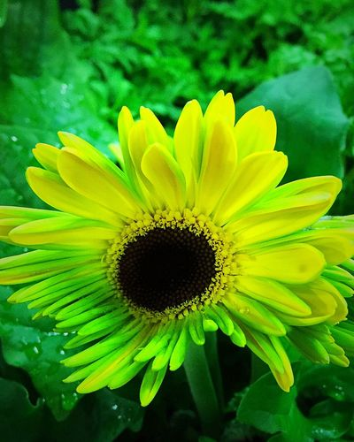 Gerbera Daisy Gardening Gerbera Daisy Daisy Flower Petal Fragility Freshness Flower Head Beauty In Nature Growth Nature Yellow Pollen Close-up Plant No People Green Color Blooming Springtime Outdoors