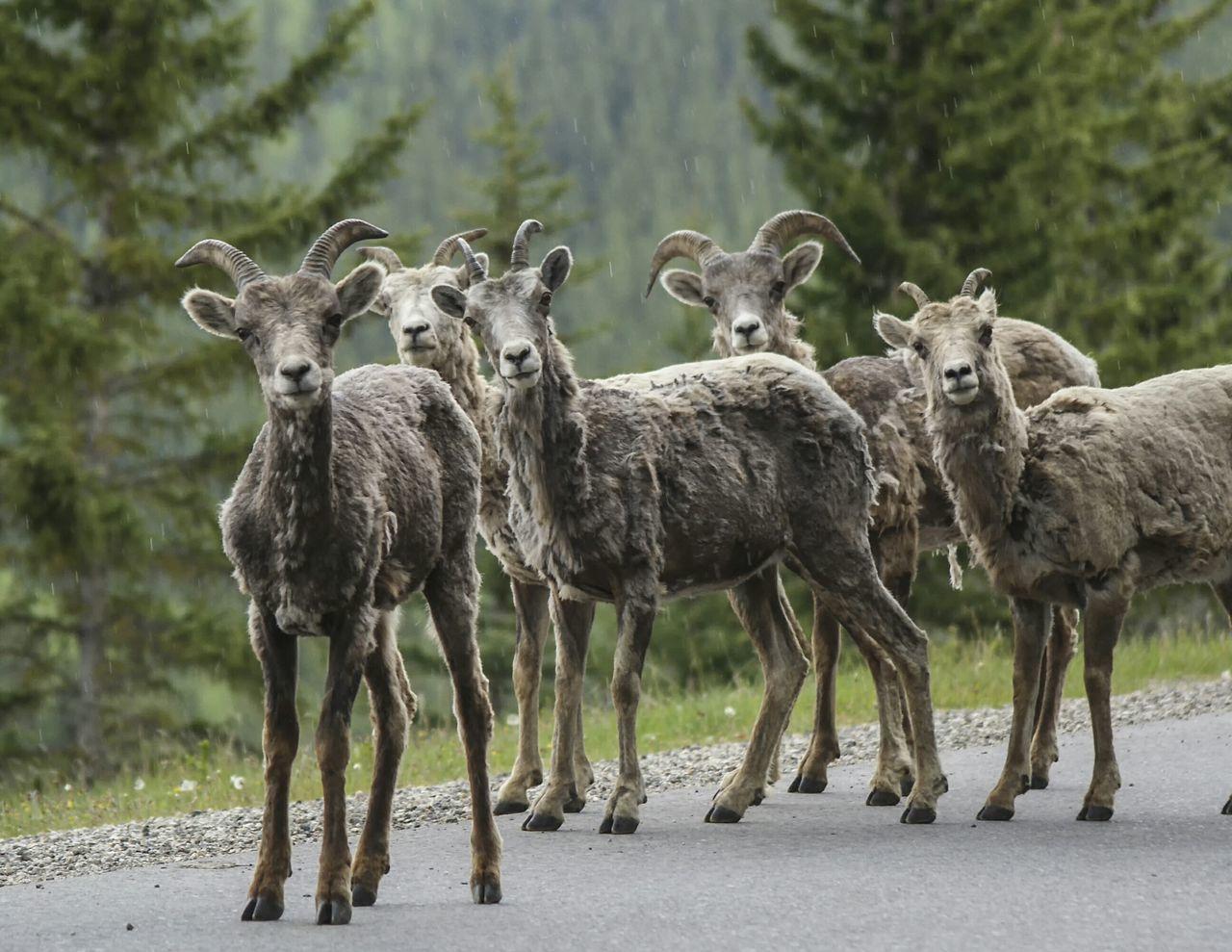 Beautiful stock photos of goat, Animal Themes, Animal Wildlife, Animals In The Wild, Day