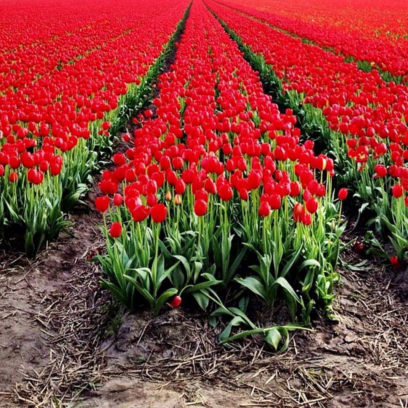 RED #tulips #igersholland #holland #dutch #flower #ubiquography #keukenhof #tulipfieldsexperience Flower Holland Tulips Dutch Keukenhof Ubiquography Igersholland Theflowerofgardens Tulipfieldsexperience O2travel