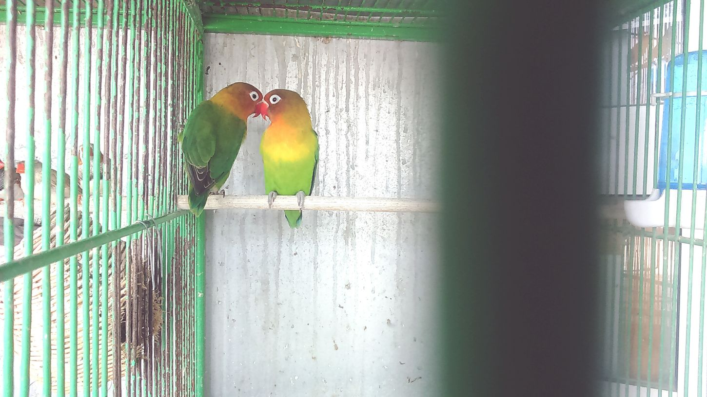 Birds_collection Colorful Birds Love Is In The Air Caged Birds In A Cage Love Birds EyeEm Best Shots EyeEm Best Shots - Nature Eye4photography  Eyeemphotography Colurfull EyeEm Nature Lover