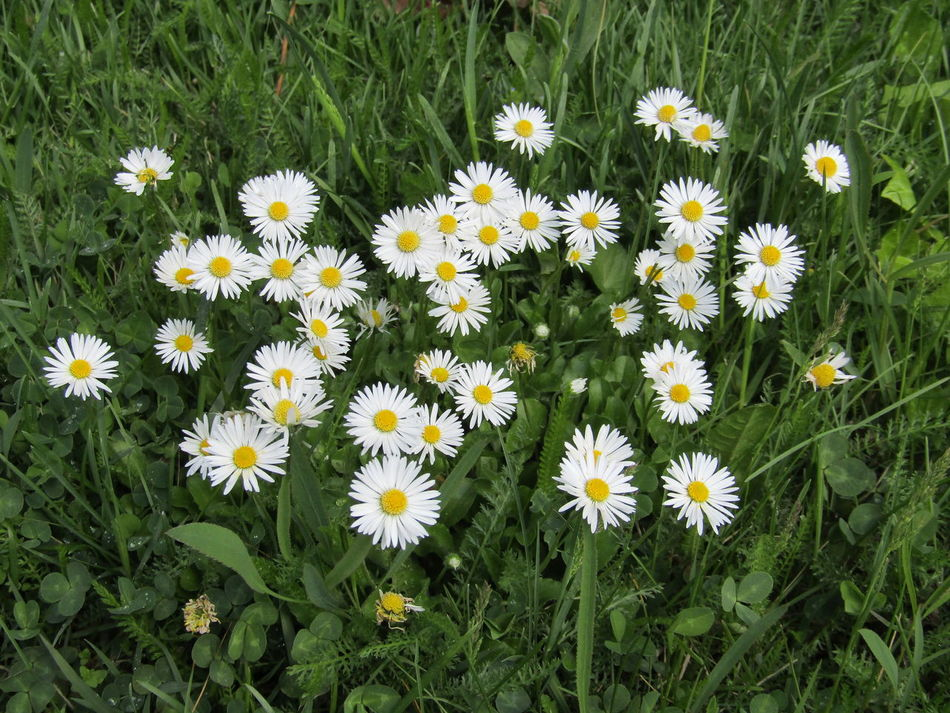 Flower Fragility Growth Nature Freshness Green Color Gänseblühmchen Daisies Flowers Daisies Between Grass Daisies