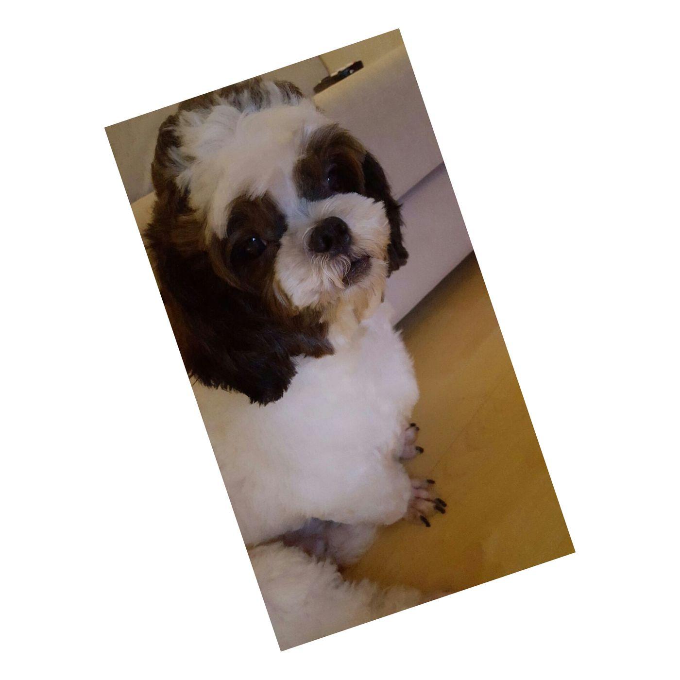 Pet Photography  Pet Love Titibird ShiTzuForever🐶 Shitzulove Enjoyinglife  Love ♥