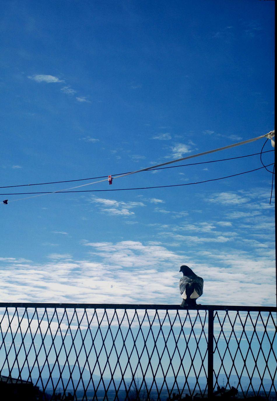 Bird Blue Freedom Piguen Sky