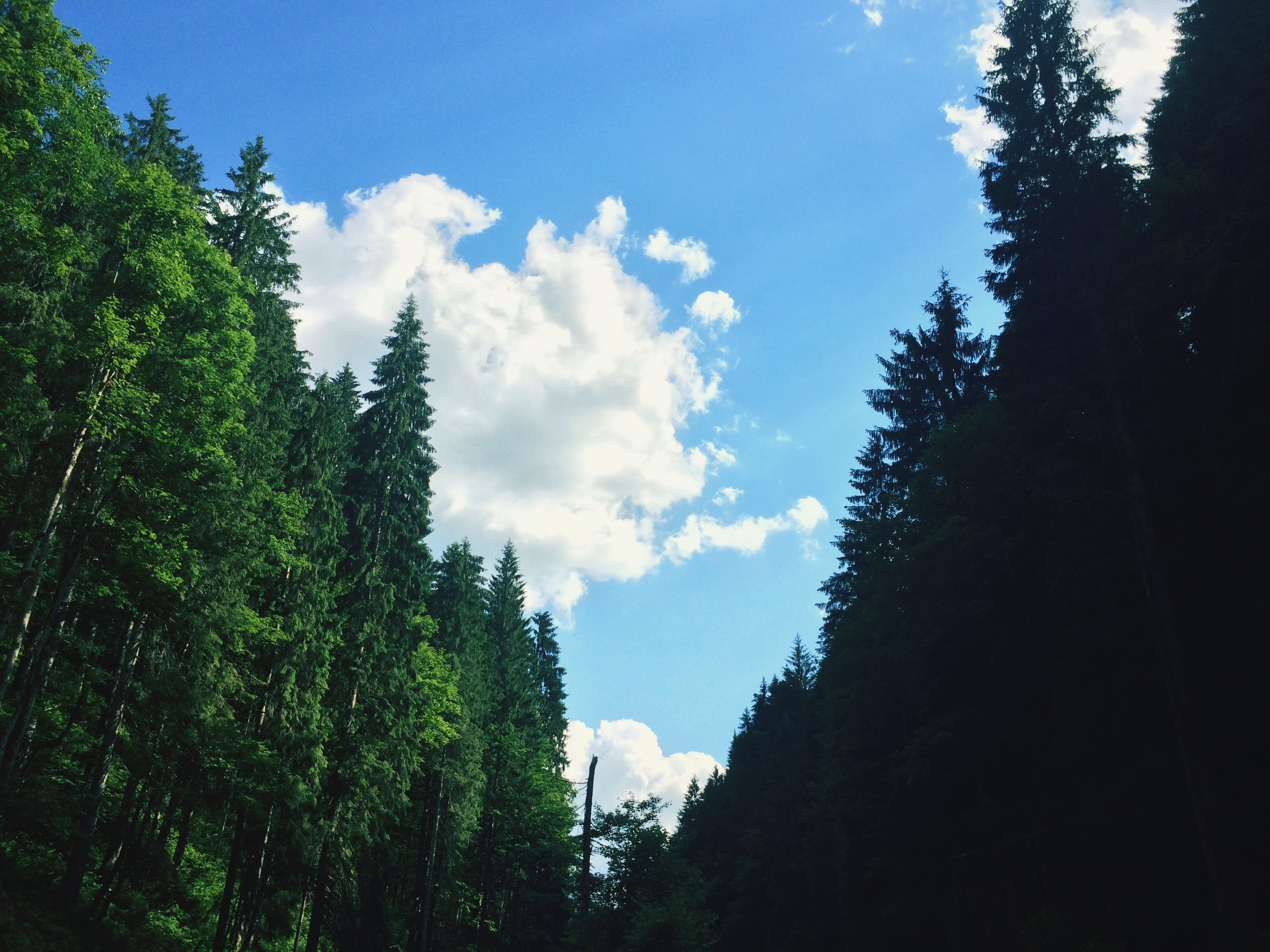 tree, sky, tranquility, low angle view, growth, tranquil scene, beauty in nature, nature, scenics, forest, blue, cloud, cloud - sky, sunlight, day, outdoors, no people, non-urban scene, idyllic, green color