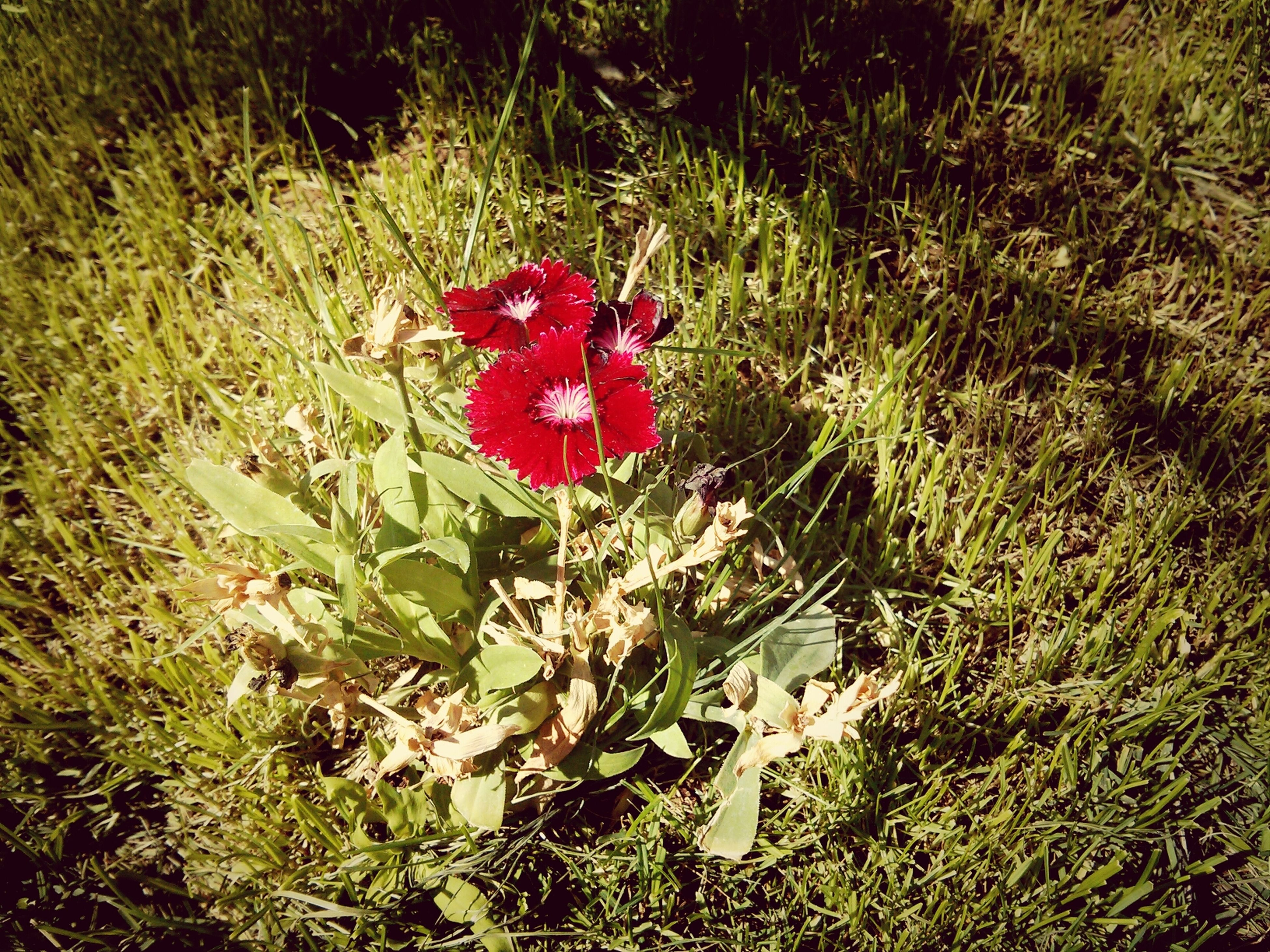 red, flower, growth, plant, grass, field, high angle view, freshness, petal, nature, beauty in nature, fragility, blooming, flower head, green color, day, close-up, outdoors, no people, grassy