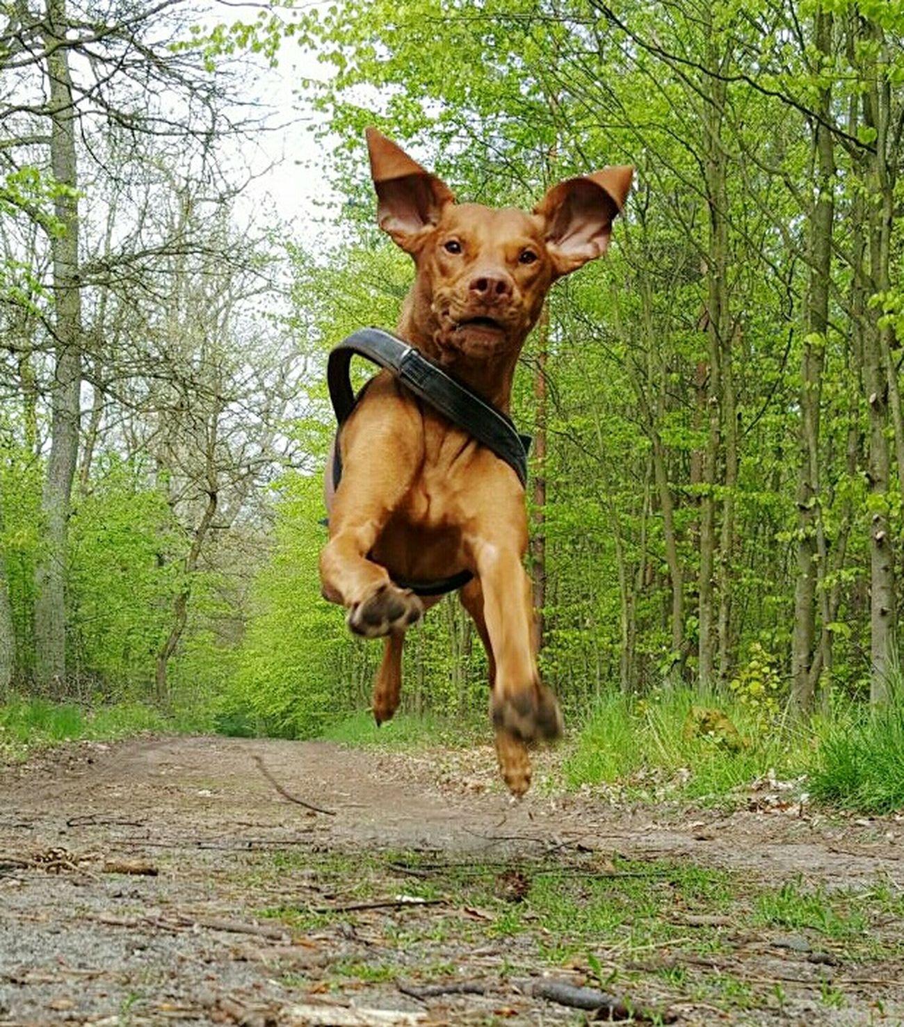 Dog One Animal Hungarianvizsla Best Of EyeEm Shots Ijuma Von Terra Lebusana Vizslalife Bestoftheday Magyar Vizsla Vizslasofinstagram Vizslaoftheday Hunting Dog Running Dog Flying Dog