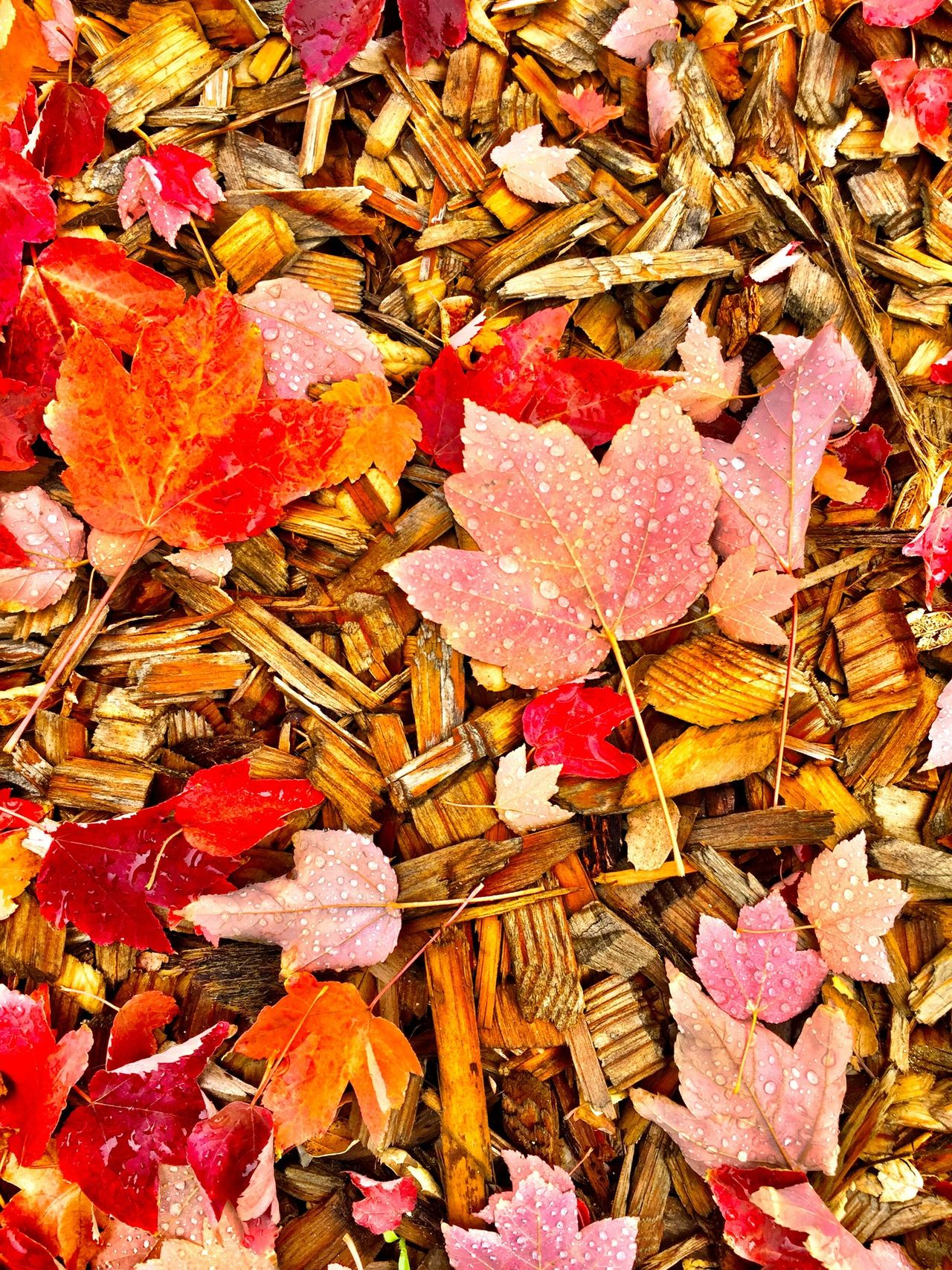 """Autumn Potpourri"" A mixture of bark, multicolored Autumn leaves and morning dew make for a beautiful, natural, photo arrangement. Dew Dewdrop Morningdew Bark Autumn Colors Autumn Leafs Fallen Leaves Autumn Leaves Autumn🍁🍁🍁 Fall Colors Autumn 2015 Colors Of Autumn Dewdrops_Beauty Waterdrops Waterdroplets Dew Drops"