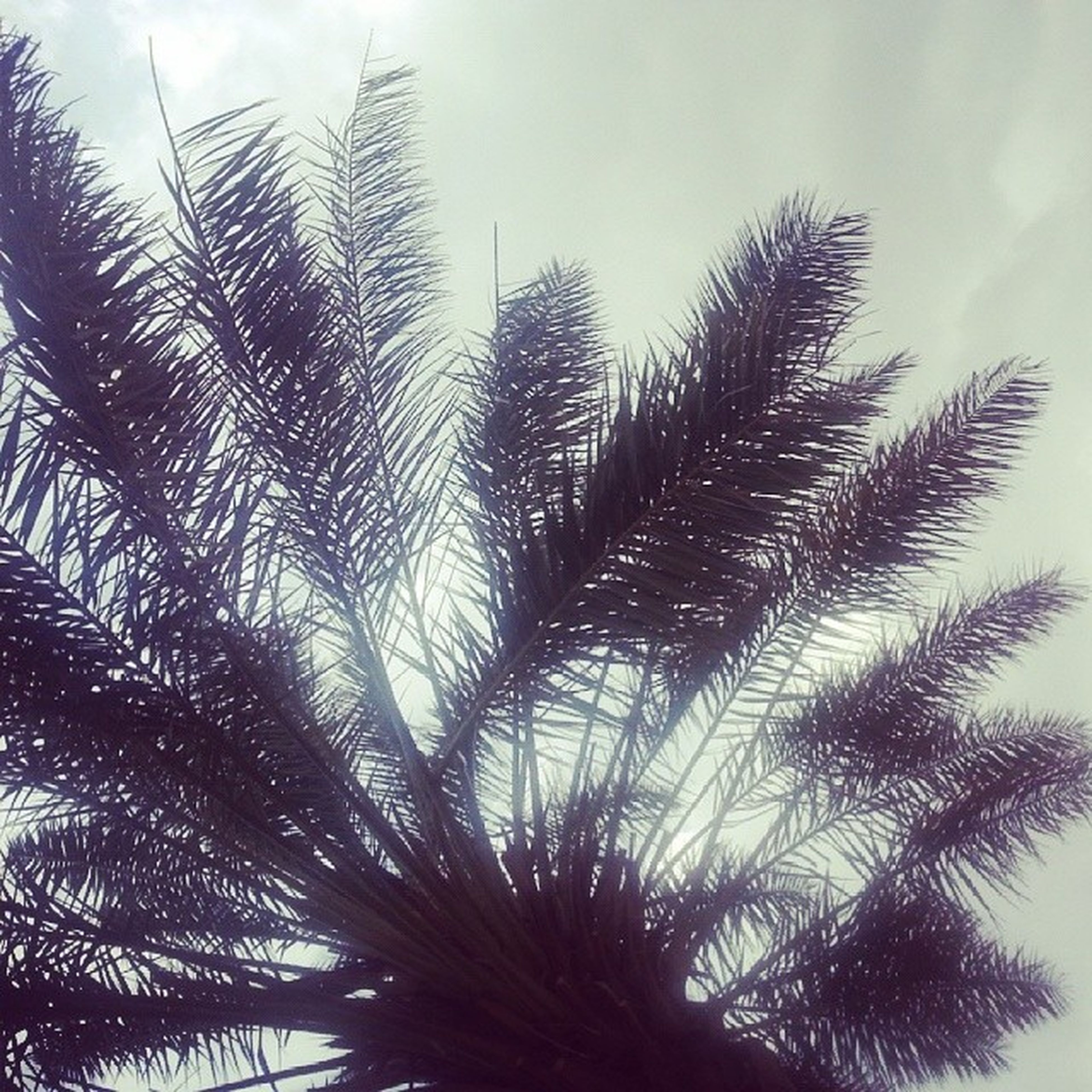 low angle view, growth, tree, sky, palm tree, nature, tranquility, beauty in nature, day, branch, palm leaf, outdoors, no people, tall - high, cloud - sky, leaf, scenics, tree trunk, backgrounds, silhouette