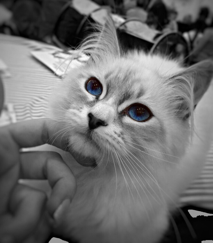 Котик Cat Чб ❤️ можно утонуть в этих глазах😍 глаза  Eye Eyes Beautiful Beautiful View Cats Eyes Blue Eyes голубые глаза невская маскарадная кошка Blackandwhite