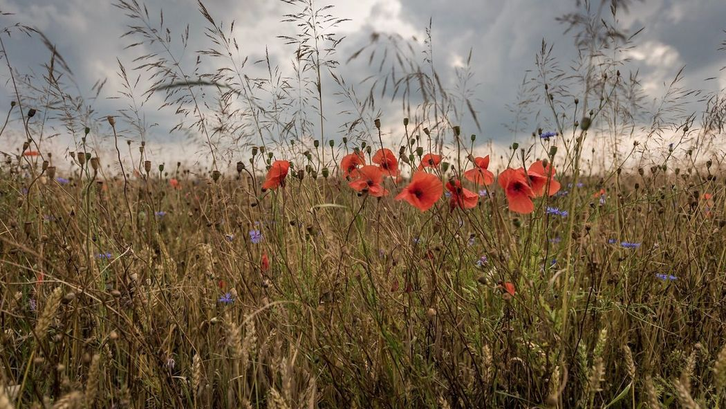 Freshness Growth Nature Plant Flower Field Poppy Beauty In Nature No People Grass Tranquility Red Uncultivated Fragility Day Outdoors Rural Scene Cereal Plant Freshness Flower Head Sky