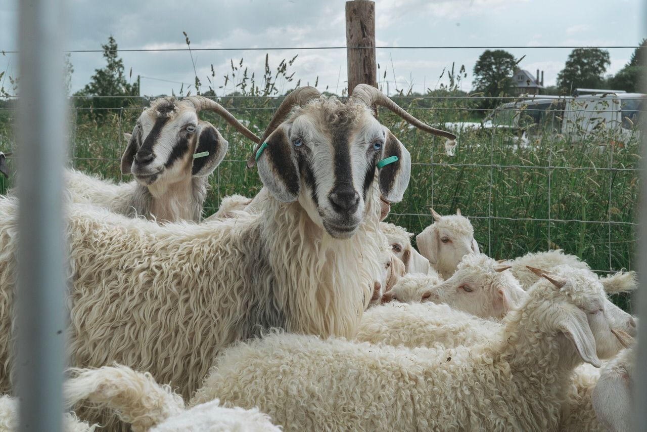 Goat Goat Sheep Domestic Animals Livestock Mammal Animal Themes Day No People Outdoors Grass Sky Domesticated Animal Tag Nature Close-up