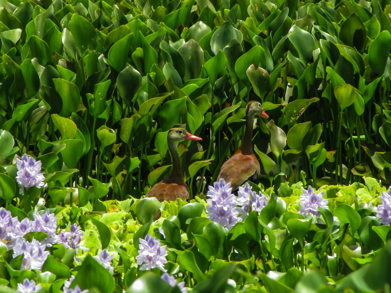 A couple of ducks hanging out in the lake around lilies in Catemaco, Veracruz, Mexico. Animals In The Wild Duck Ducks Green Color Lake Landscape Lilies Lily Nature