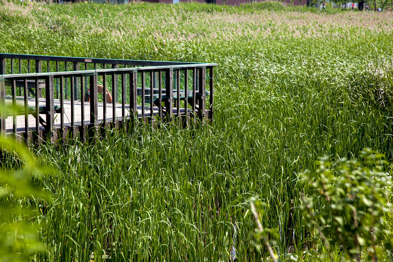Boardwalk By Grass Growing In Swamp