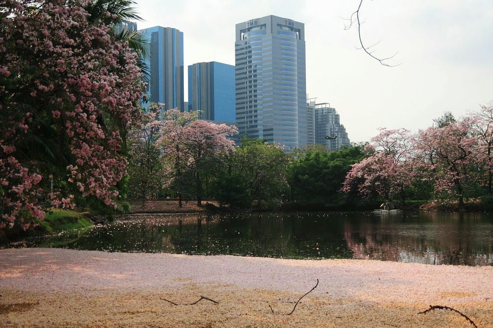 Tabebuia in Jatujak Park Skyscraper Building Exterior Architecture City Tree Pink Flower Tabebuia Rosea February Flower Nature Jatujak Park Jatujak Park Lake Beauty Of Thailand
