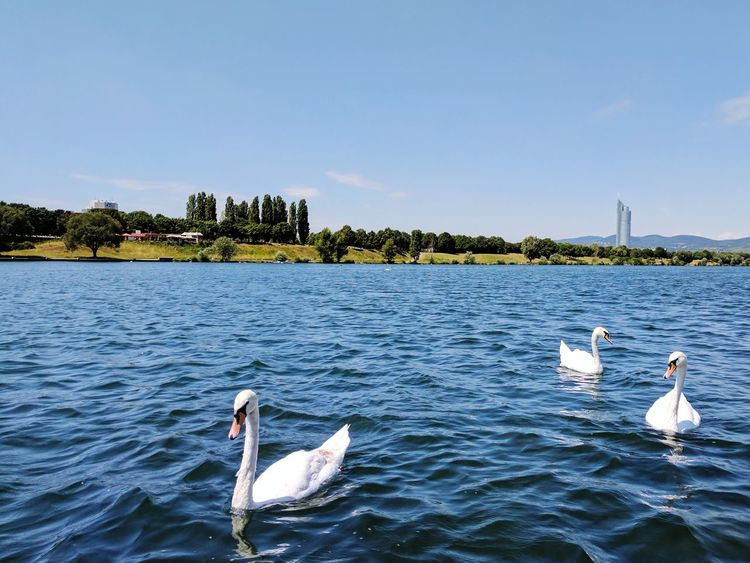 Danube Bird Water Bird Nature Swan Animals In The Wild Animal Wildlife Water Lake Animal Themes Swimming Outdoors Day No People EyeEmNewHere Perspectives On Nature