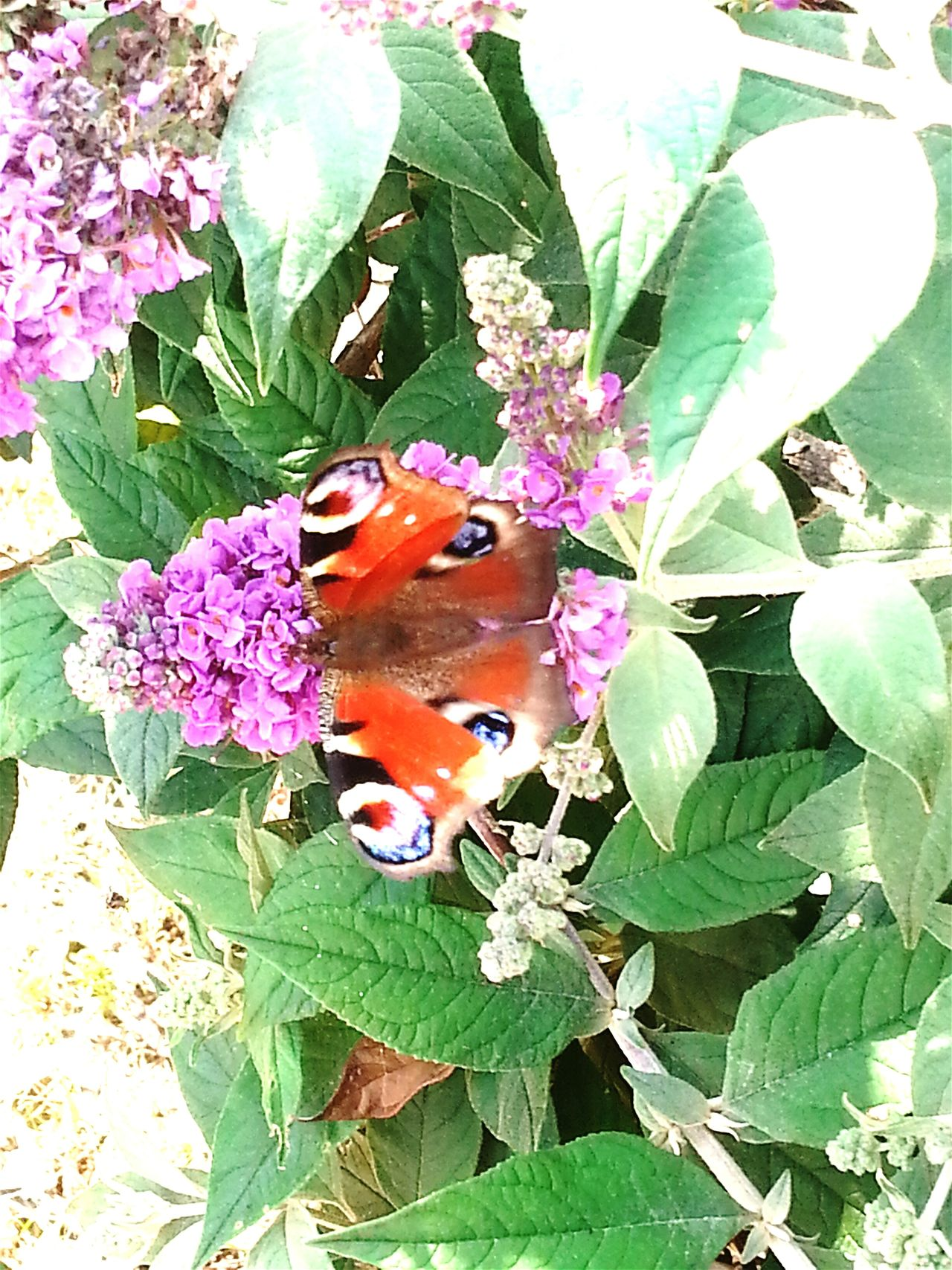 Butterfly Butterflies Backyard Beautiful Nature