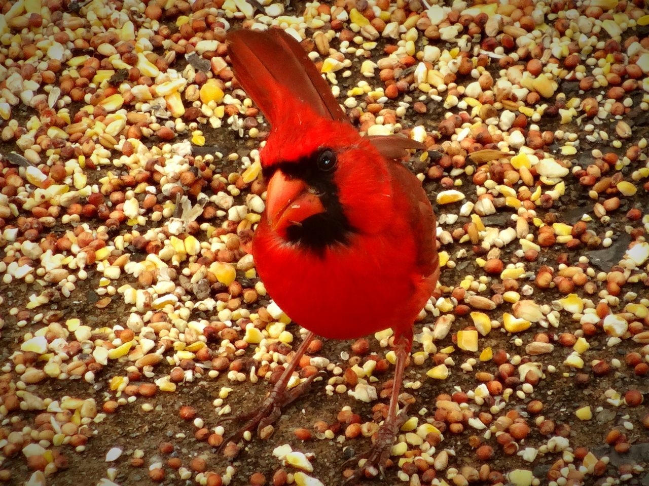 one animal, animal themes, animals in the wild, red, no people, bird, animal wildlife, close-up, food, nature, day, outdoors