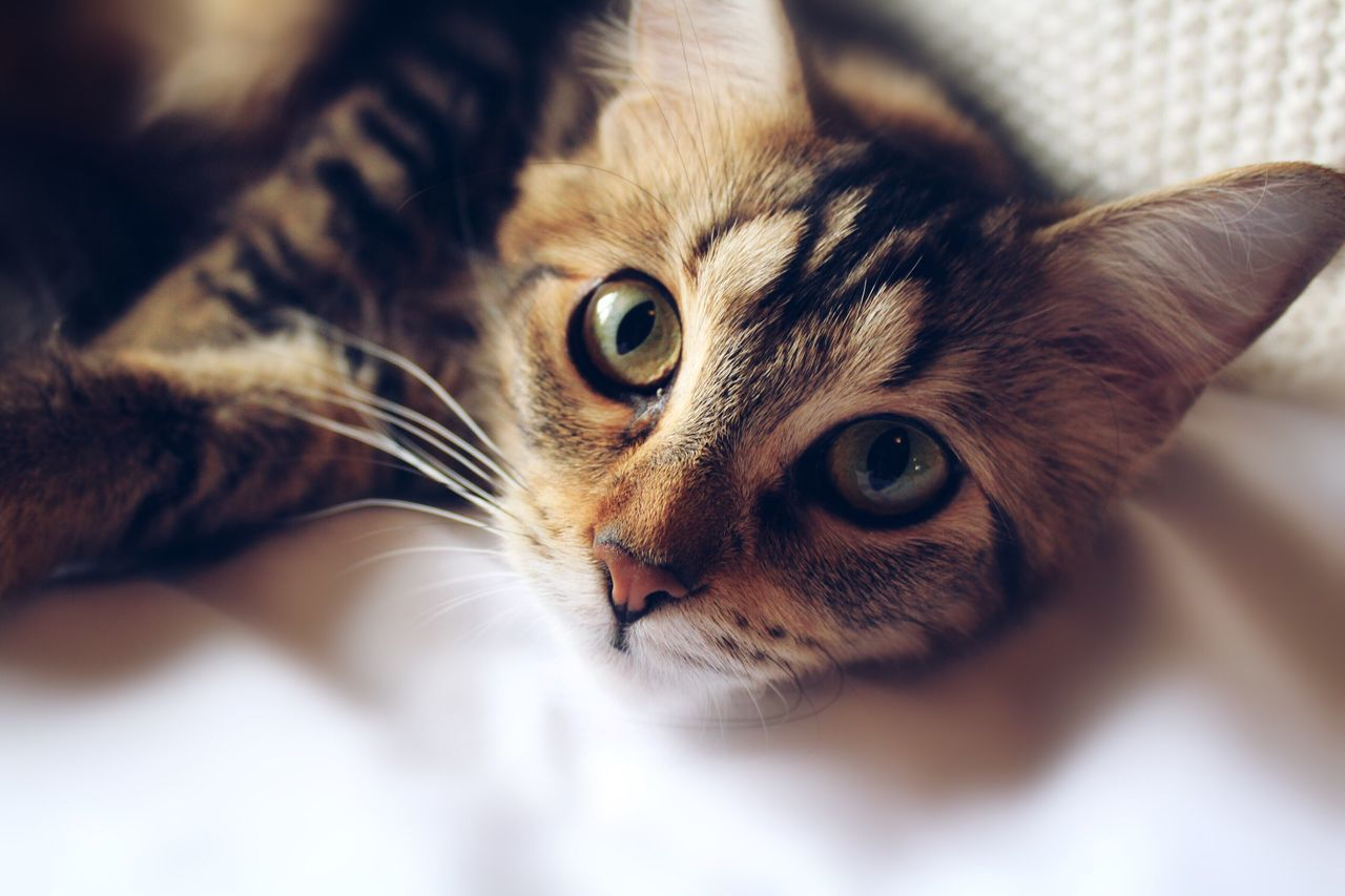 Portrait Of Cat Resting On Bed