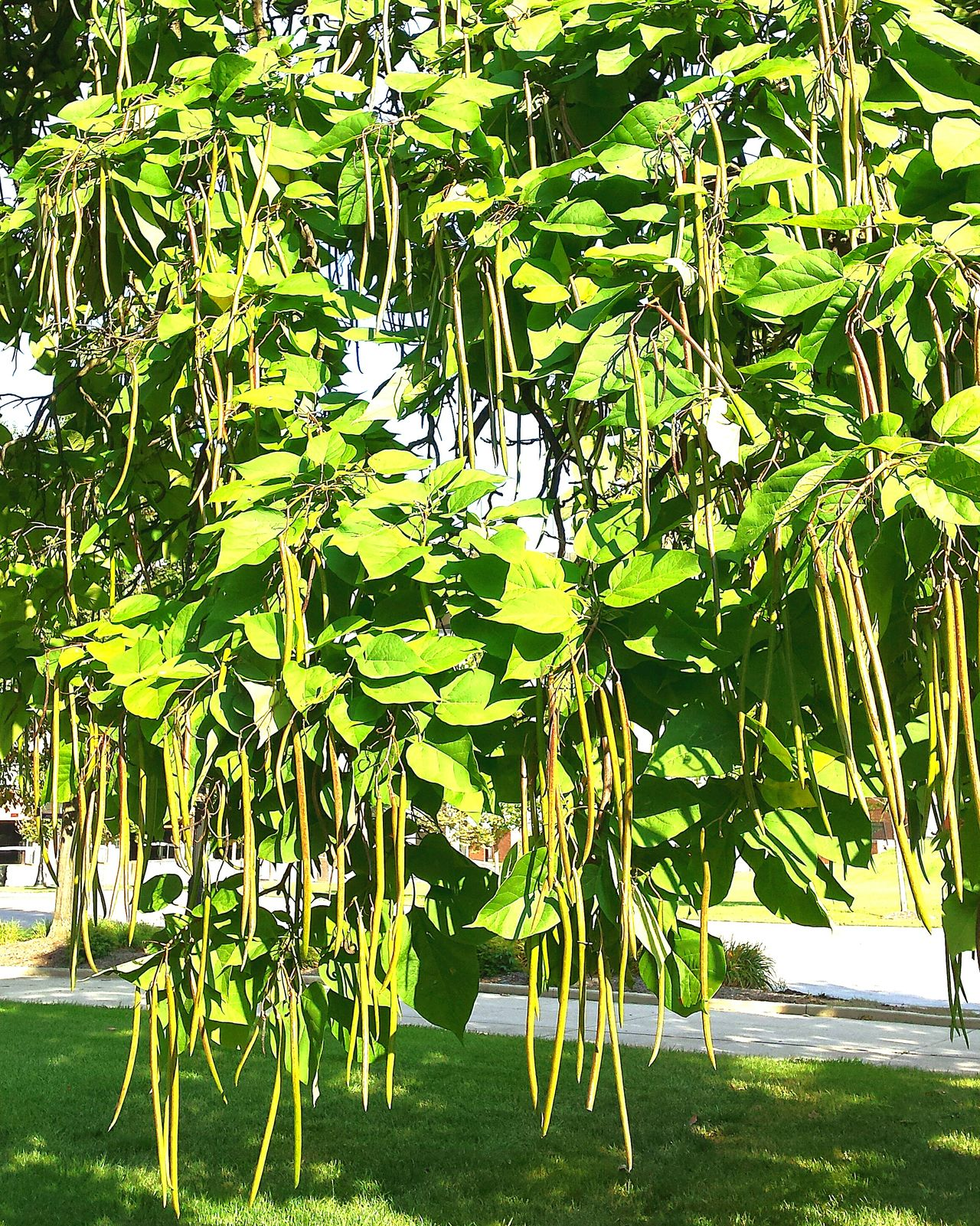 """Green bean"" tree do not eat the beans from this tree Nature On Your Doorstep Beautiful Day Observing Light And Shadow TreePorn Urban Filter 4 Flowers,Plants & Garden Enjoying The Sun Beautiful Nature Tree"