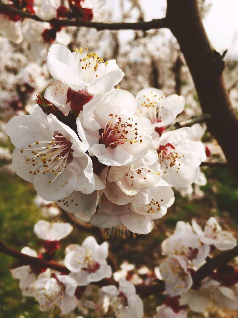 First Eyeem Photo Flower Nature Growth White Color Beauty In Nature Blossom Tree Close-up Springtime Petal Almond Tree Flower Head Stamen Freshness Fragility Twig No People Branch Plum Blossom Outdoors