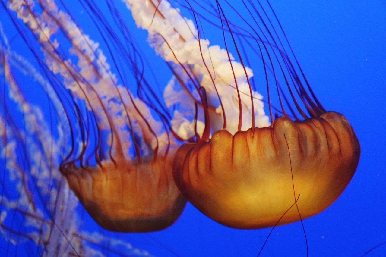 Blue Close-up Zoology Vibrant Color Swimming Beauty In Nature No People Monterey Bay Aquarium Travel Destinations Focus On Foreground Jellyfish Blue Background Majestic
