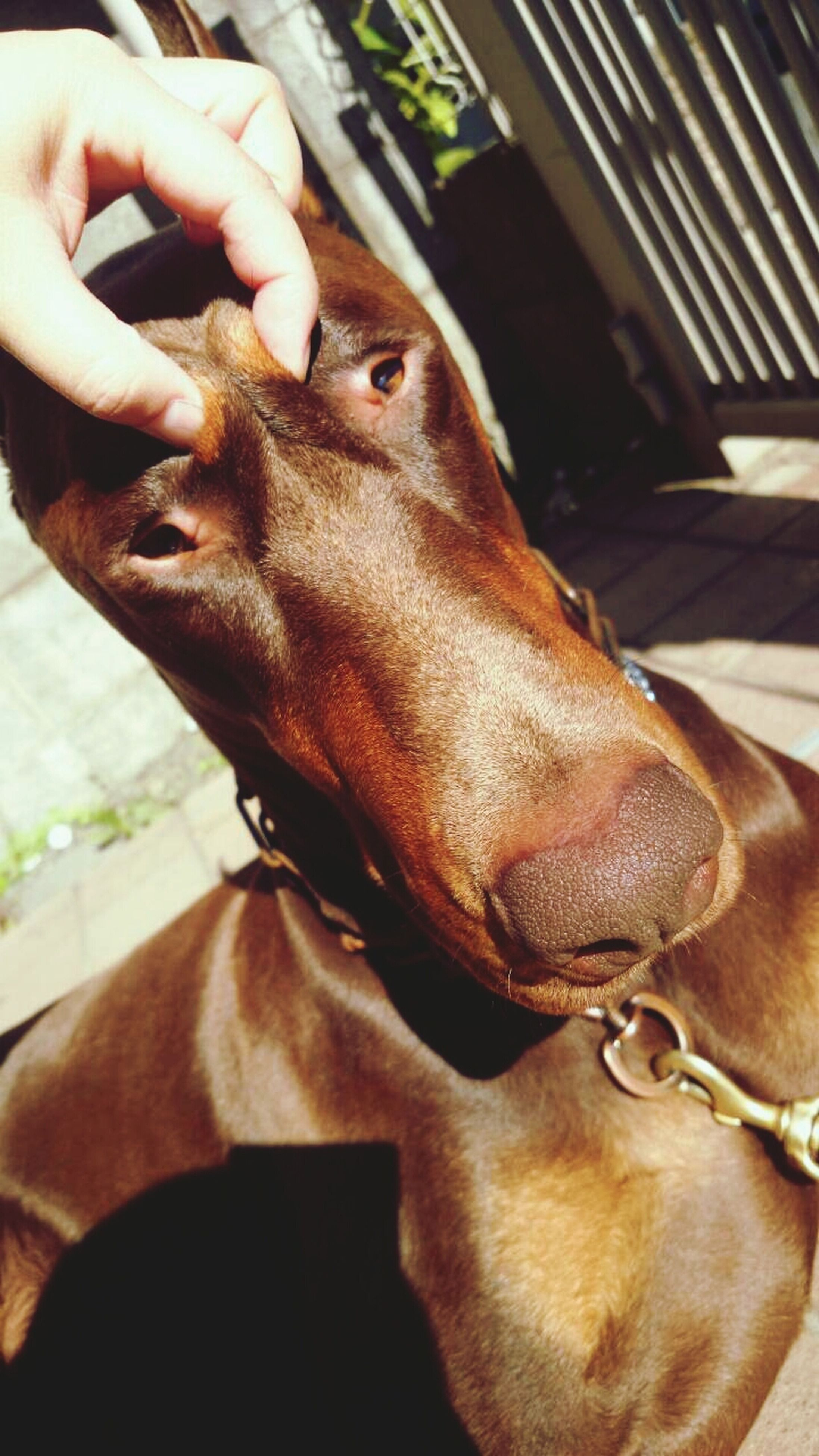 animal themes, domestic animals, one animal, mammal, dog, animal head, pets, indoors, close-up, part of, animal body part, horse, brown, focus on foreground, pet collar, portrait, person, relaxation, cropped, zoology