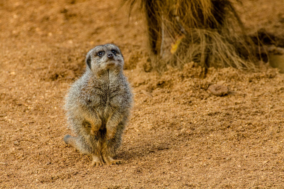 Meerkat Animal Wildlife Sand One Animal Colchester Zoo Nature Day Beach Outdoors Portrait No People Animal Themes Mammal Close-up